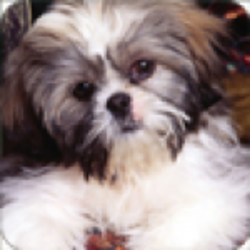 Live wallpapers Shih Tzu