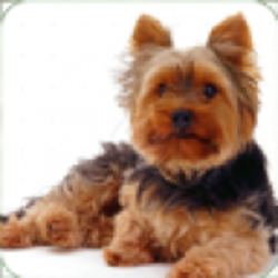 Live wallpapers Yorkshire Terriers